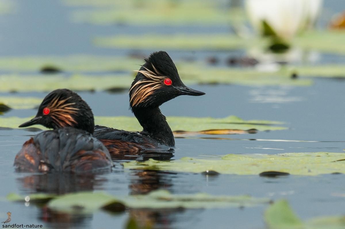 Black-necked grebe | Schwarzhalstaucher