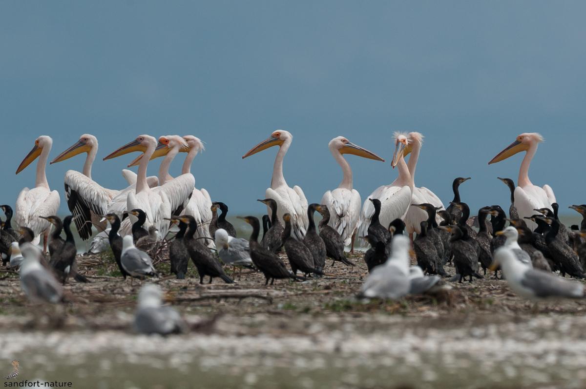 White Pelican | Rosapelikan