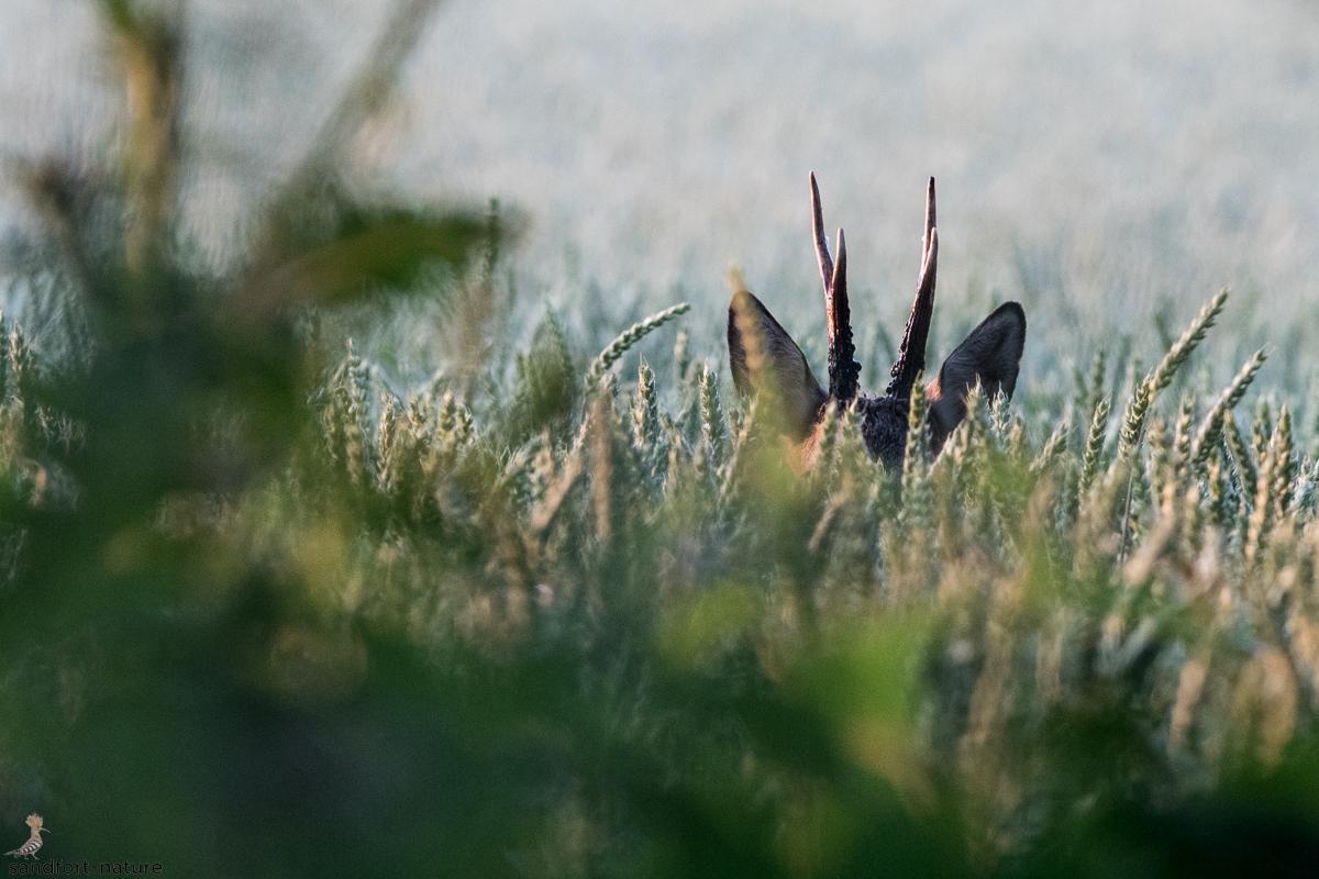 Roe deer | Rehbock