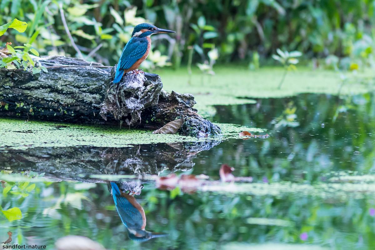 kingfisher | Eisvogel