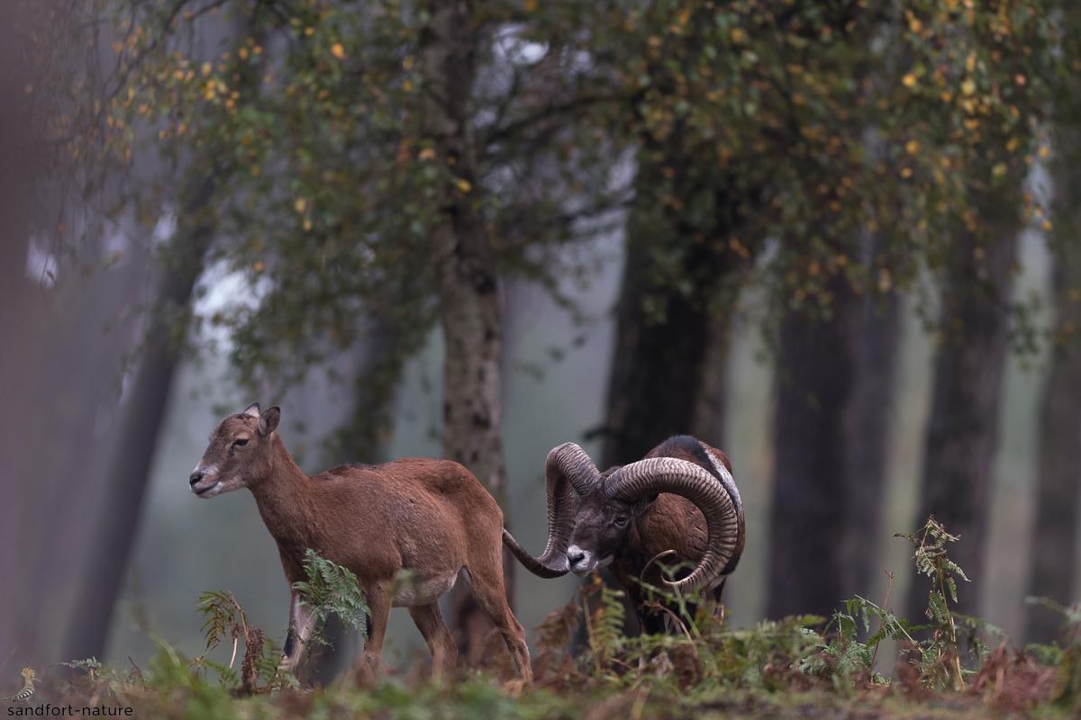 mouflon | Mouflon