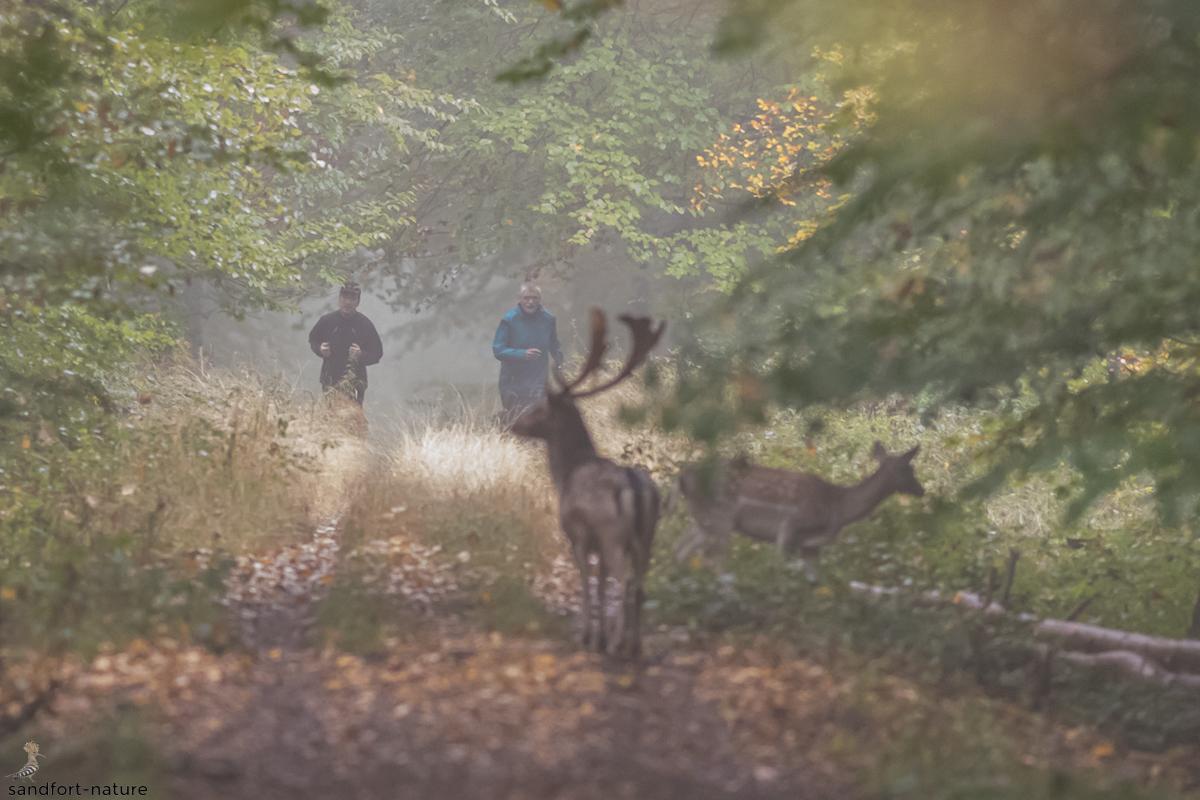 fallow deer | Damwild