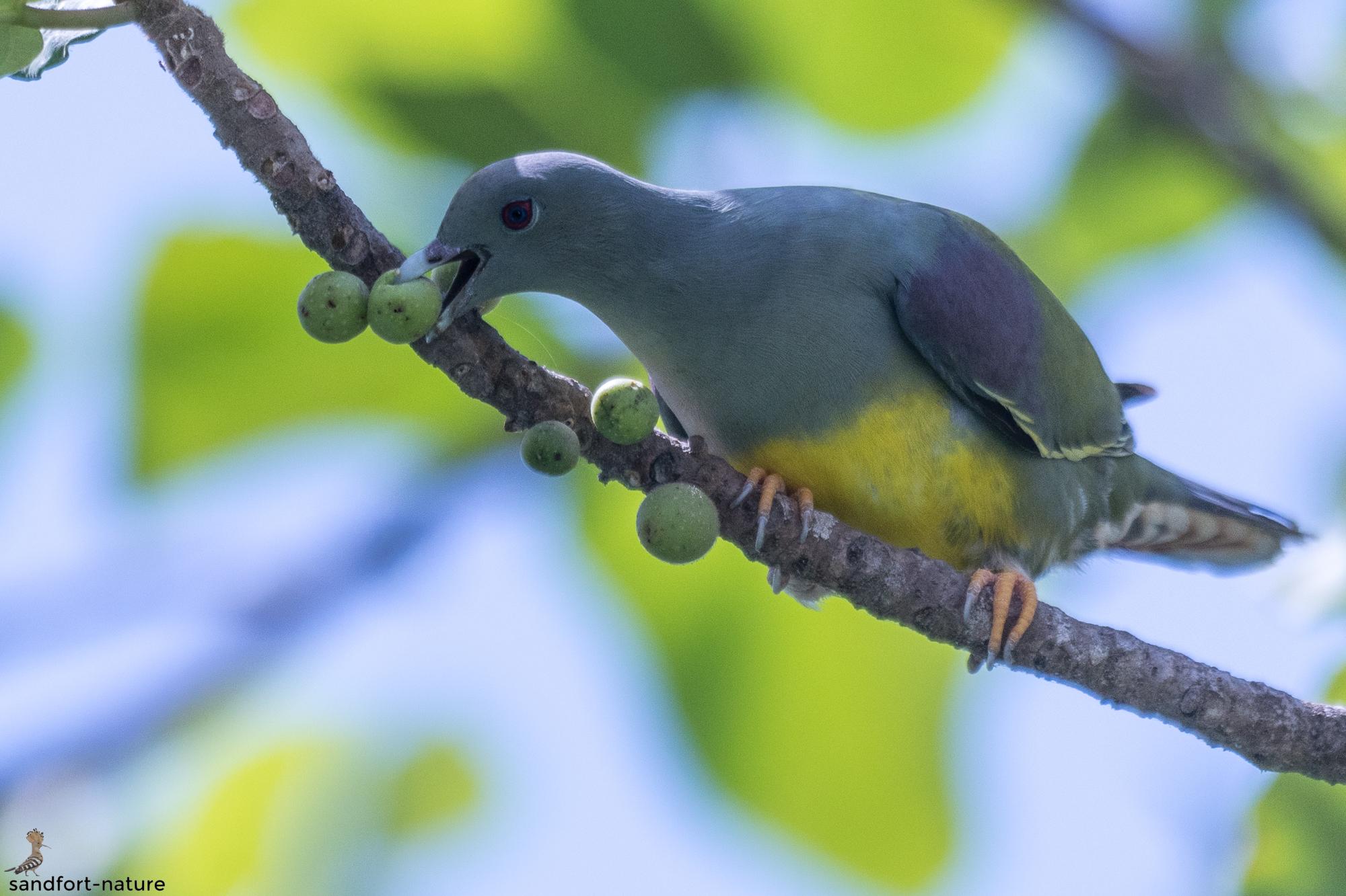 Bruce`s Green Pigeon | Waalie Taube