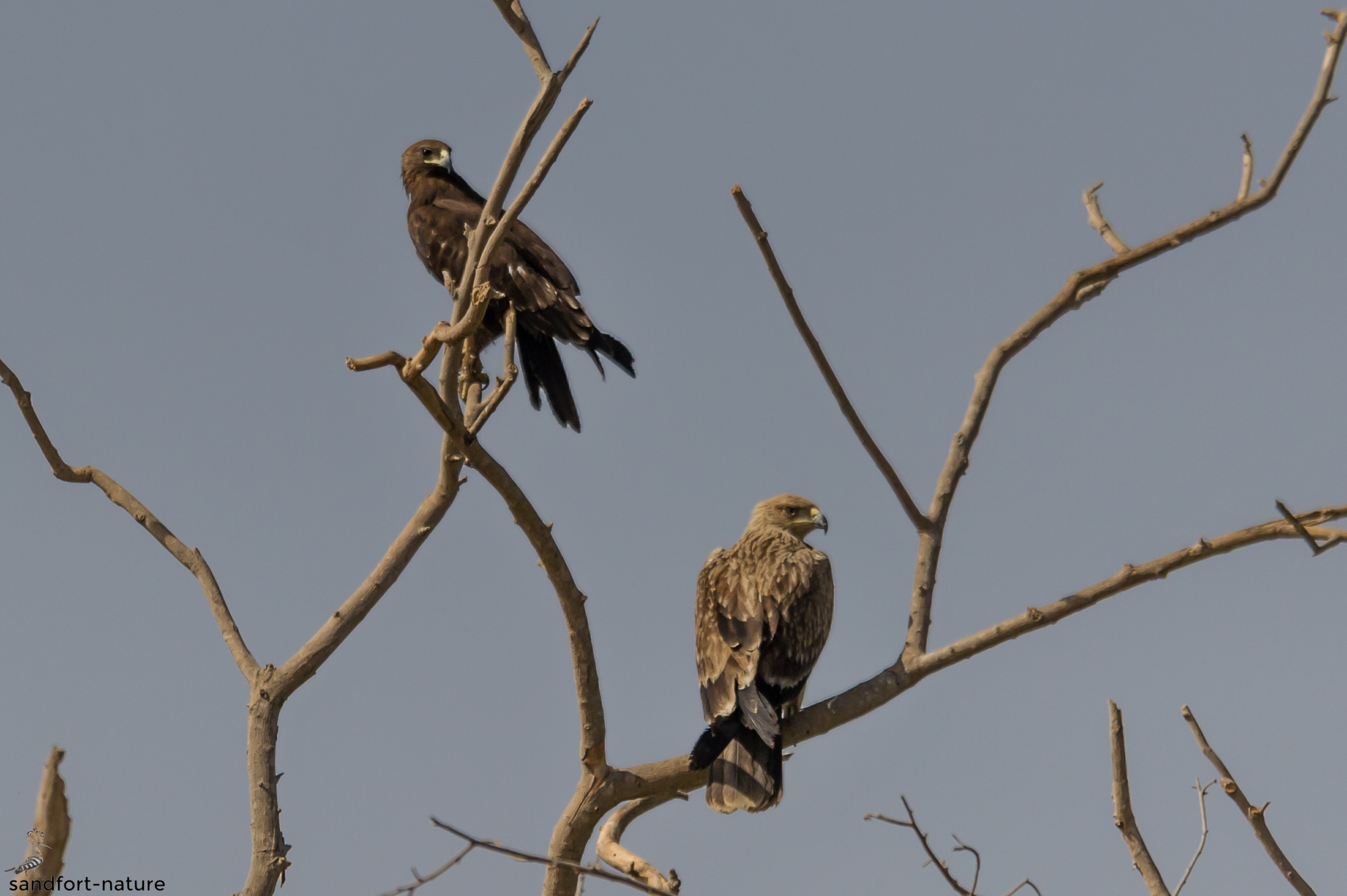 Steppe eagle and imperial eagle | Steppenadler und Kaiseradler