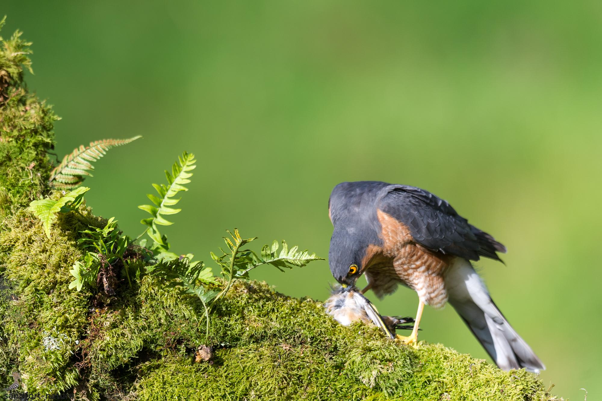sparrow hawk | Sperber