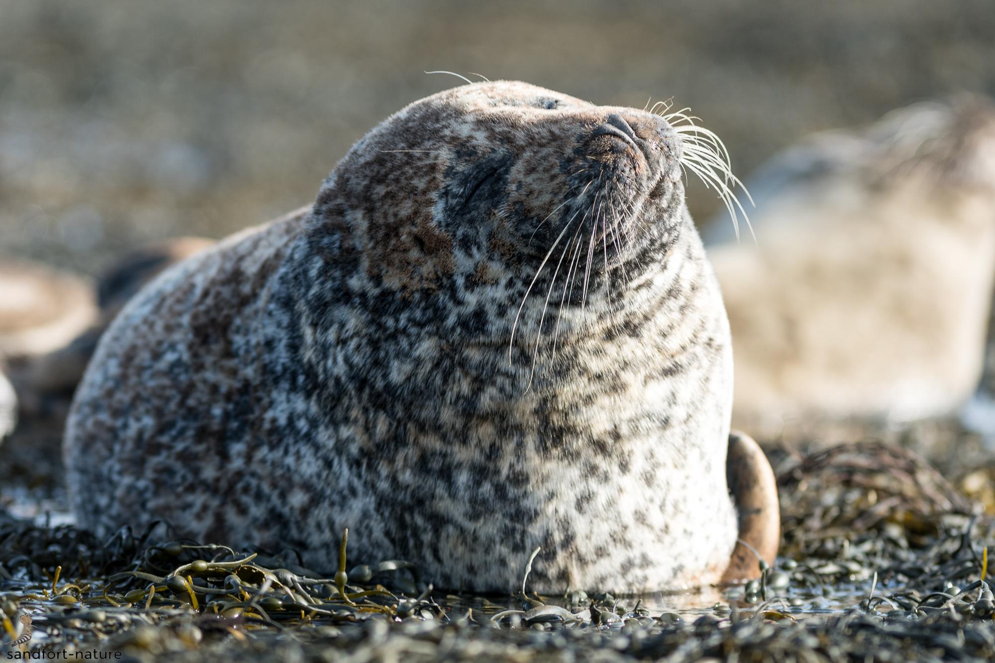 Harbour seal | Seehund