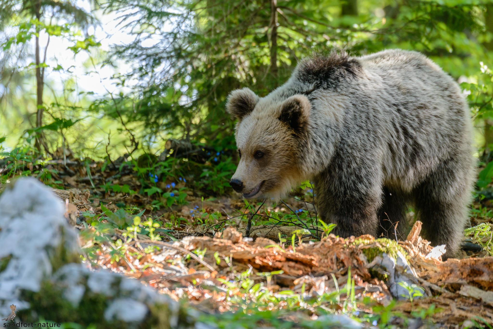 European brown bear | Braunbär