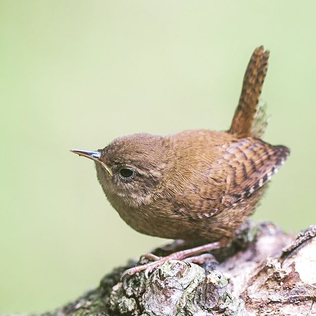 Wren | wild Germany 🌿 follow us for more wildlife and landscape🌿