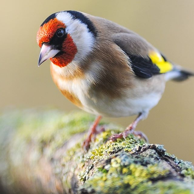 European goldfinch | wild Germany 🌿 follow us for more wildlife and landscape🌿