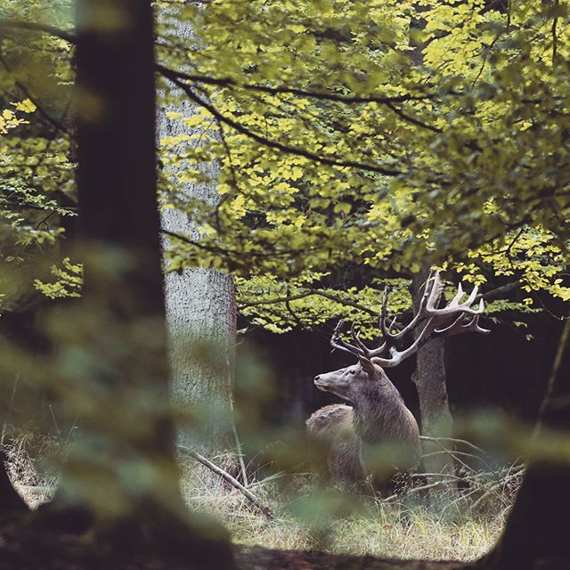 red deer rut | wild Germany 🌿 follow us for more wildlife and landscape🌿