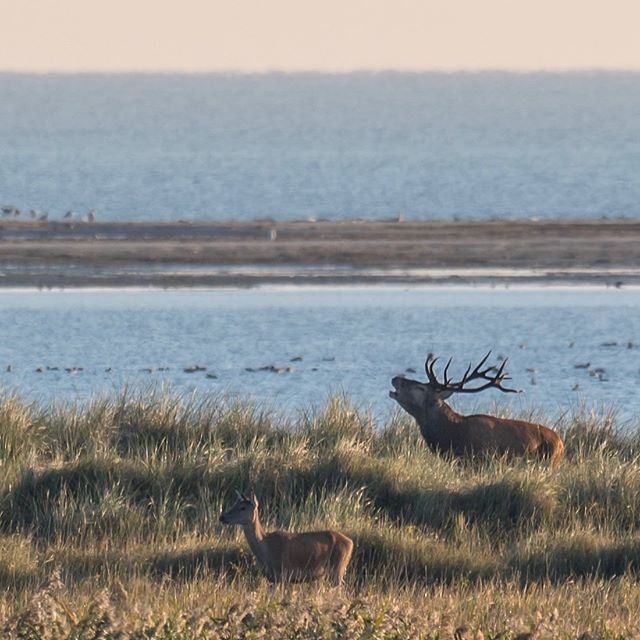 red deer rut at the coast | wild Germany 🌿 follow us for more wildlife and landscape🌿