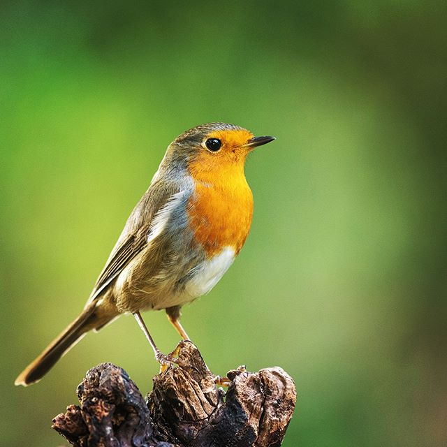 Robin | wild Germany 🌿 follow us for more wildlife and landscape🌿