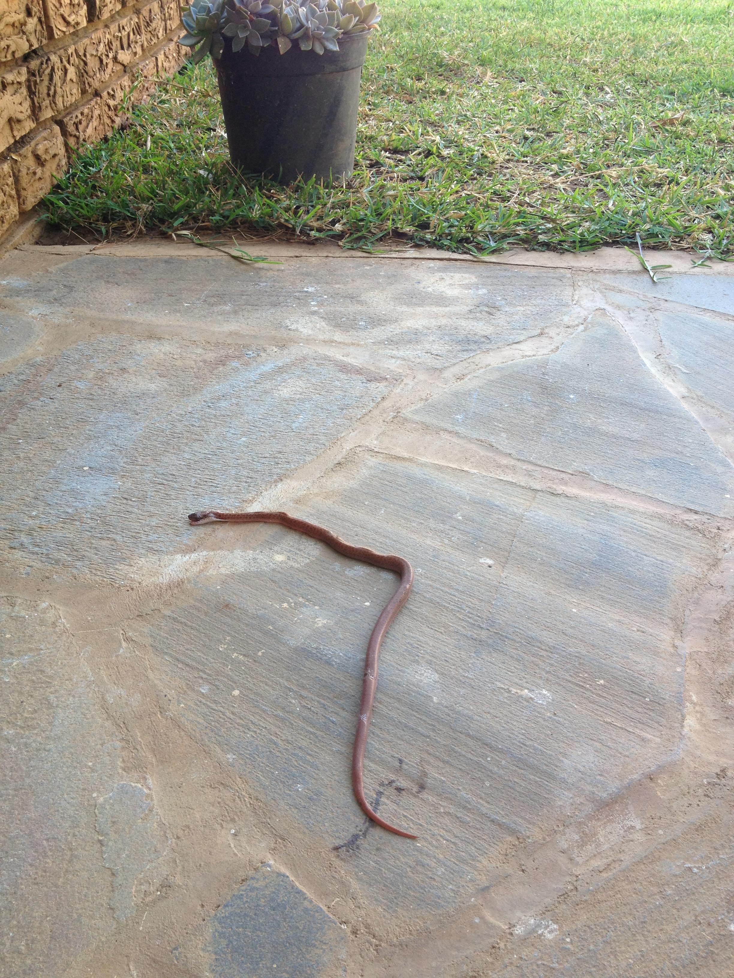 A very dead, very venomous snake.