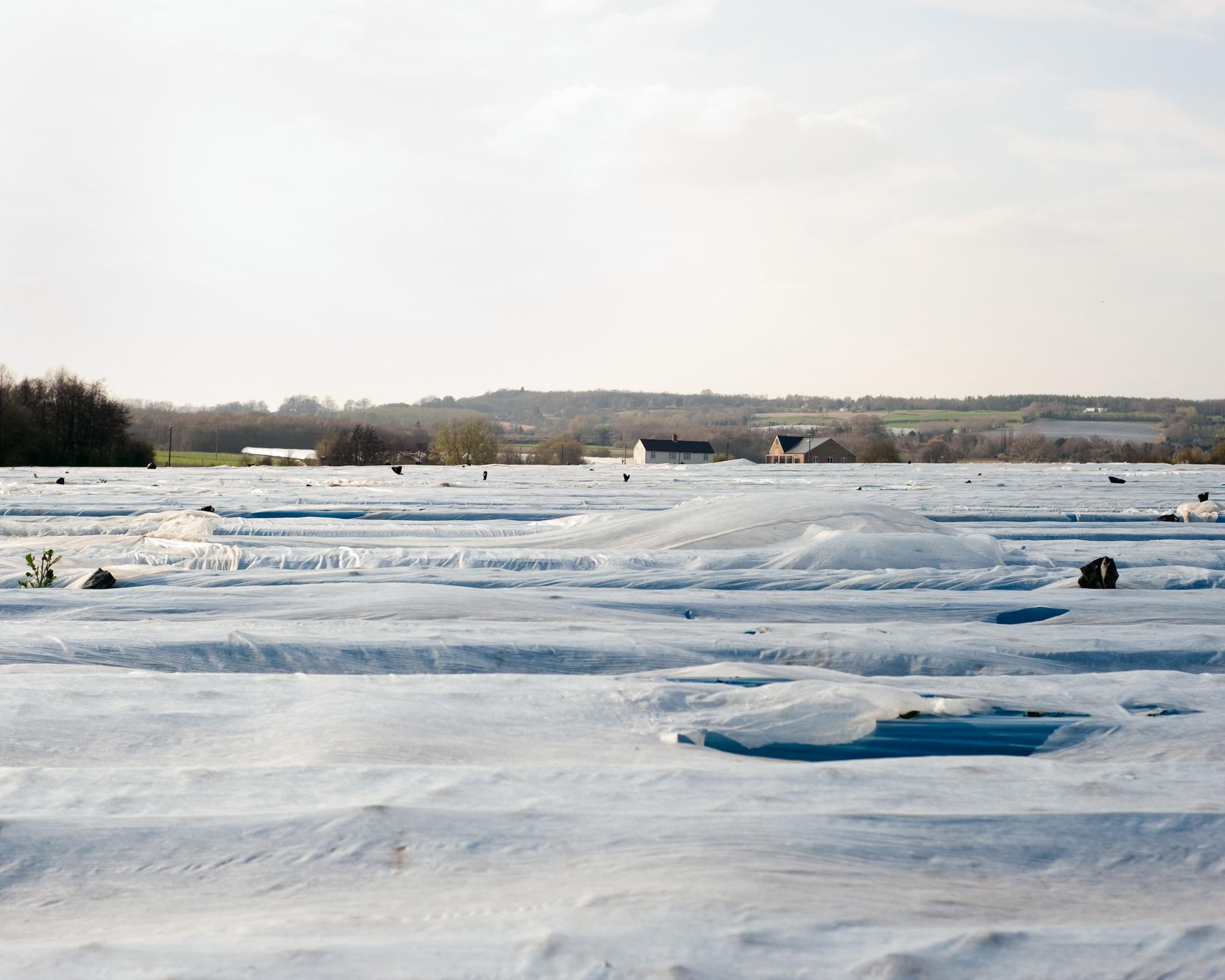 Strawberry Field, 2012  A plastic film prevents weed growth and erosion. Fleece protects strawberries from frost, which allows to plant and harvest them at times usually considered off season.