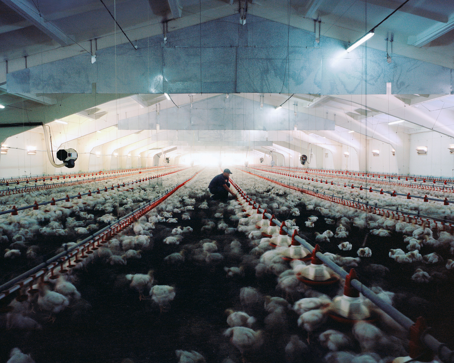 Chicken, 2011  Since the mid 1990s the consumption of chicken has increased by 75 percent worldwide. Chicken are often reared in barns. One chicken barn has the capacity to rear 50.000 chickens.