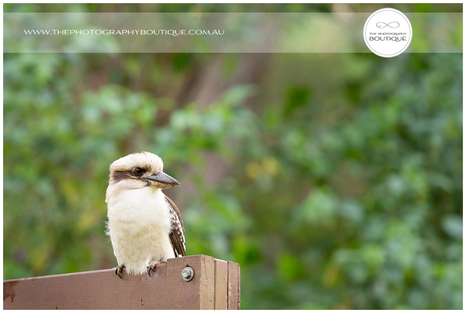 Kookaburra at Caves House Yallingup