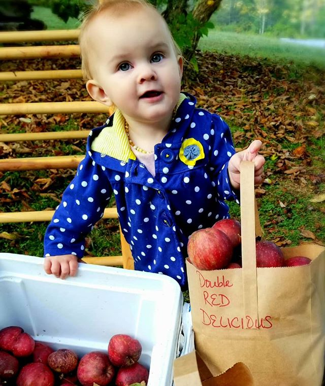 Emmaline has packed up some Double Red Delicious apples for you this morning! (she actually did fill a bag!) Current apple offerings in 1/2 peck bags- sold Jack's Petrol & Provisions in Roan Mountain: -Gala - Double Red Delicious - Summer Banana -  this is our first real crop of these, and they are bigger than your fist, and have such great crunch and sweet flavor. For a full apple profile read on... ---- Summer Banana: This apple is from Marion County, South Carolina  and was  first grown in the late 1800's. It is so named because it can have a slight banana aroma when fully ripe. This apple was my grandmother's favorite. No other apple fries as well, and my grandmother loved fried apples. Its fresh taste is also quite exceptional for an apple ripening during the heat of the summer. Many tales are told of this apple being the choice of tobacco laborers during their brief breaks from the fields. There is also a Winter Banana that is said to have some of the same characteristics, but it ripens in October and is not preferred as a cooking apple. The Summer Banana's  fruit is usually medium in size, a deep yellow with small light green splotches and perhaps a few red dots at its peak of ripeness. The flesh is  fine grained and can have a faint smell of banana if fully ripe. Fruit ripens in August into September. - Apple history from Century Farm Orchards