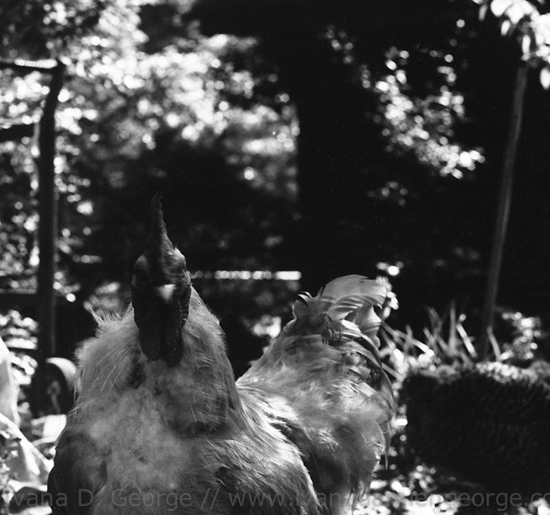 Portrait of Rooster 1999 Atlanta, GA