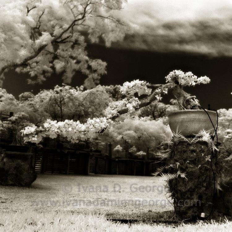 Green Island Ficus Bonsai Planted 1975 Ivana Damien George Interdisciplinary Artist