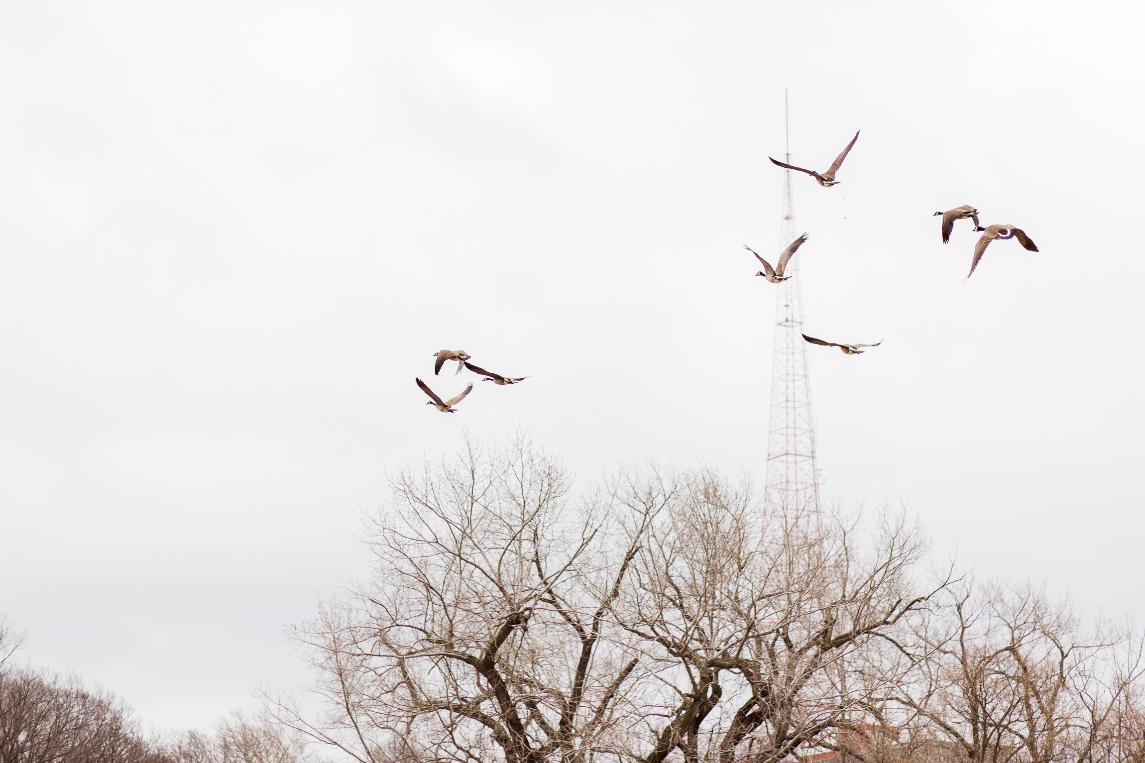Geese flying over winter trees, Kansas City lifestyle photographer, Kansas City senior photographer, Kansas City small business headshots, Kansas City lifestyle blogger, candid portrait, winter portrait session, Penn Valley Park