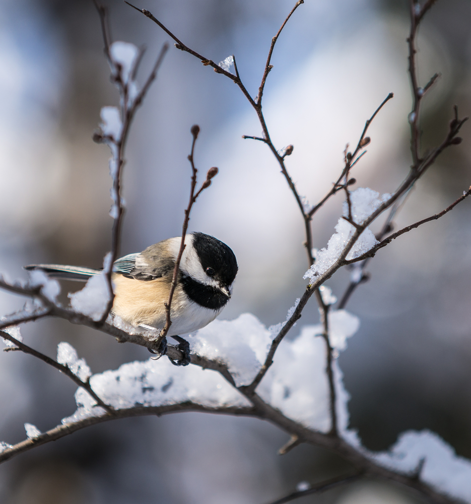 Chickadee Snow