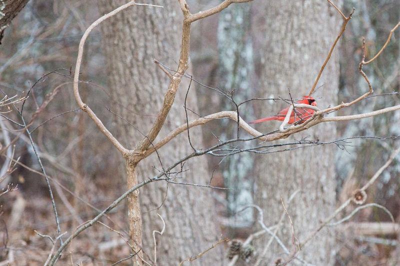 Christmas Bird Count Tallies Species - Story in the Vineyard Gazette