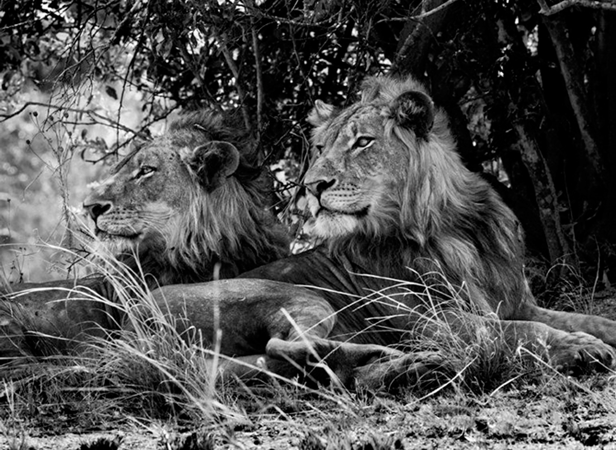 Kafue National Park, Zambia [Two Brothers], 2010   20 x 24 inches  Gelatin silver print