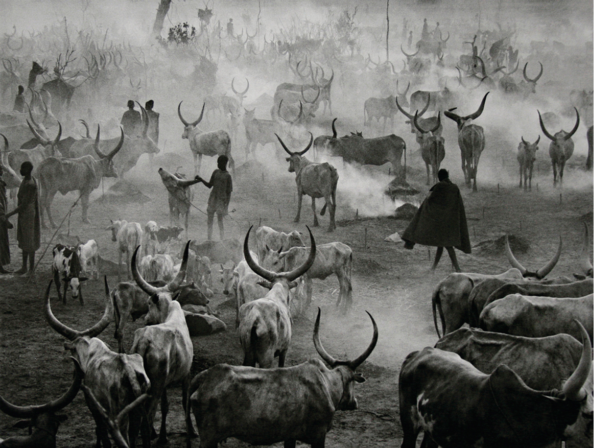 Dinka cattle camp of Amak at the end of the day, when the herd is back in the camp for the night.  This is the most active time in the camp, Southern Sudan, 2006   24 x 35 inches  Gelatin silver print