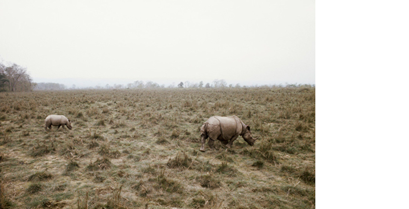 POMPI GUTNISKY  Rhinos, 1998   25 x 37 inches  Pigment print on metallic paper, edition 4/7