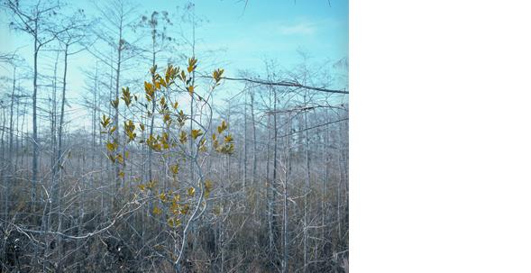 HUMBERTO TORRES  Untitled, (Everglades) 2009  11 x 14 inches C-print