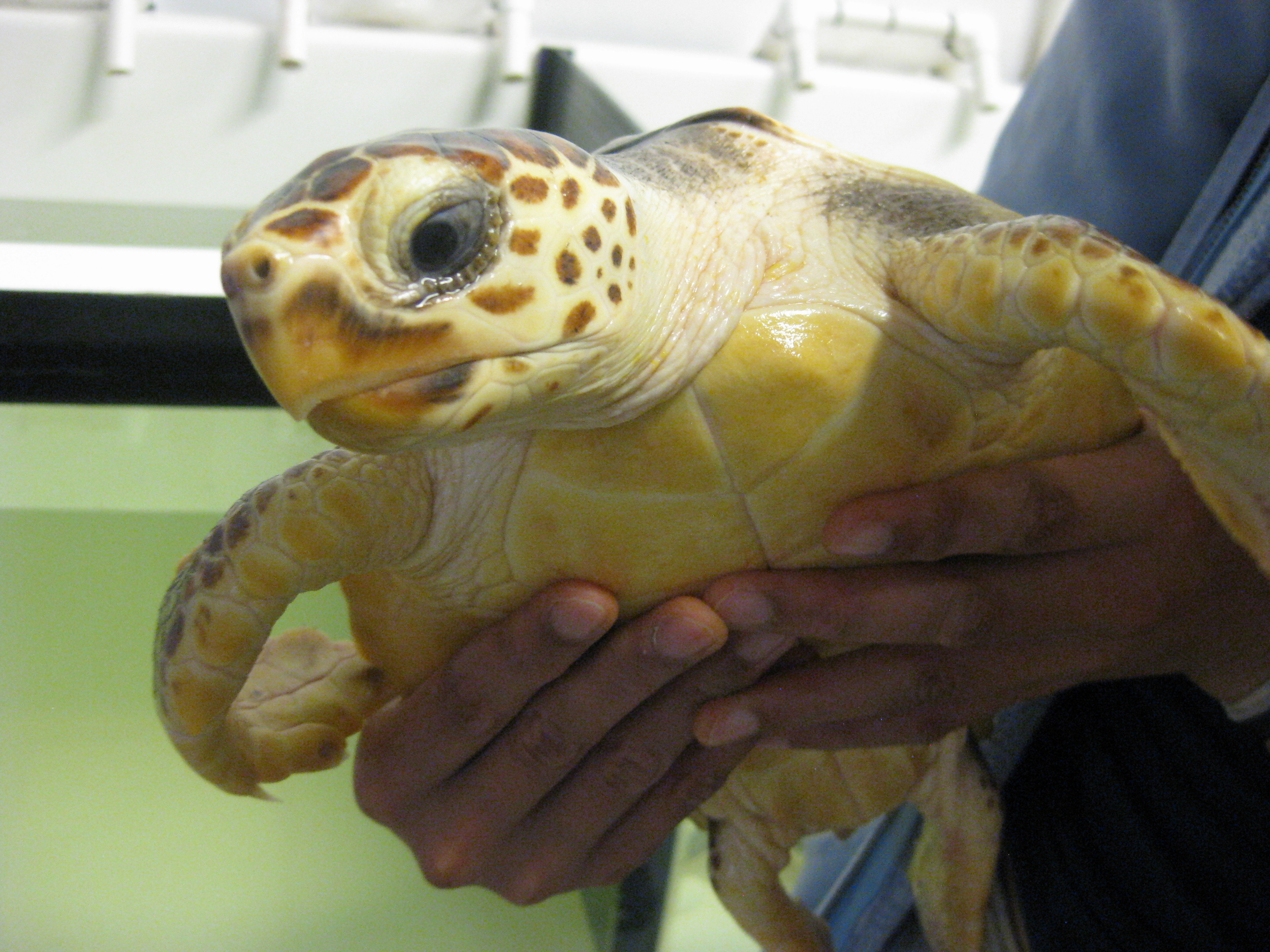 Student holding a Loggerhead sea turtle on a field trip to Pine Knoll Shores aquarium, 2013.