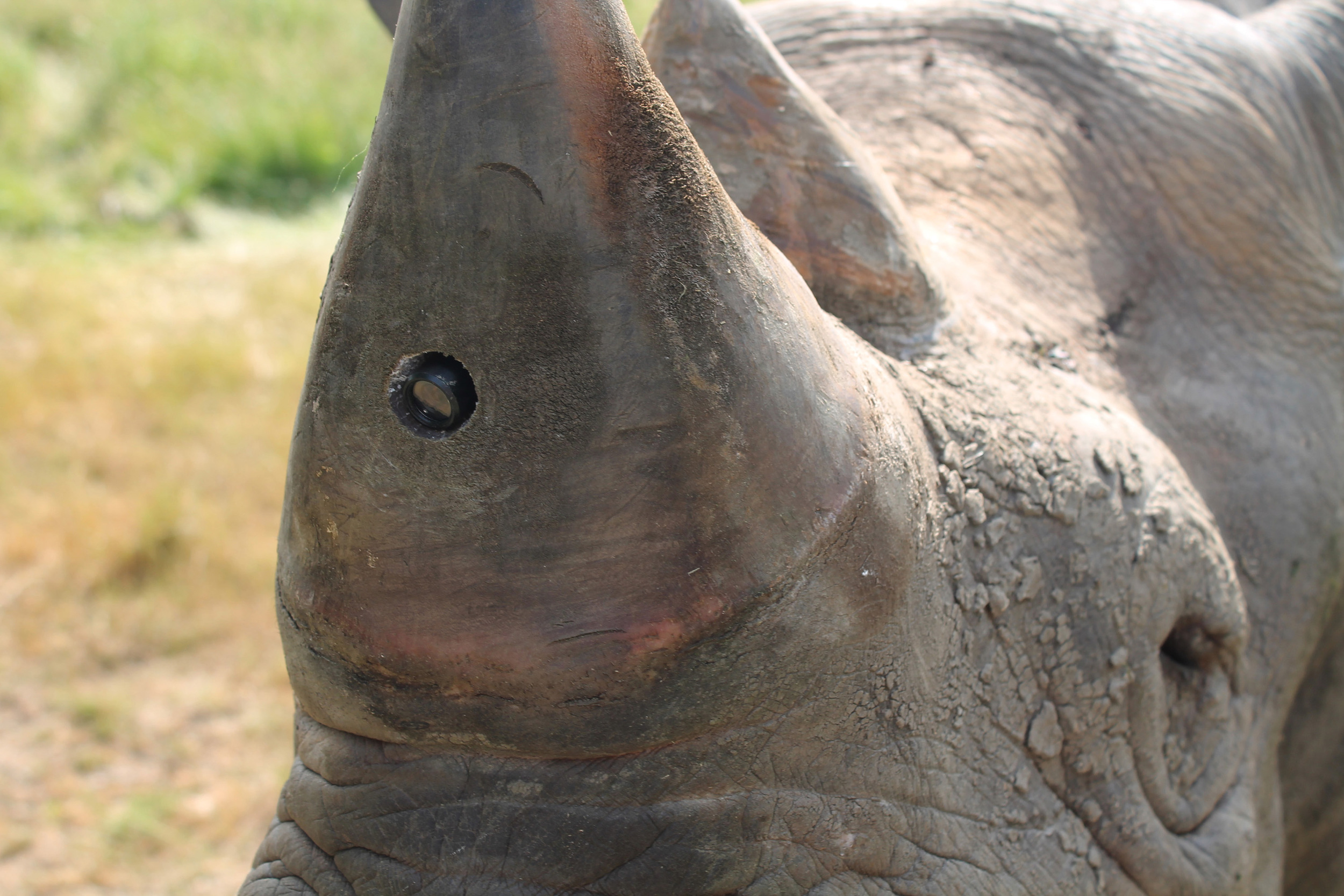 A black rhino with a tiny camera embedded in its horn. PROTECT