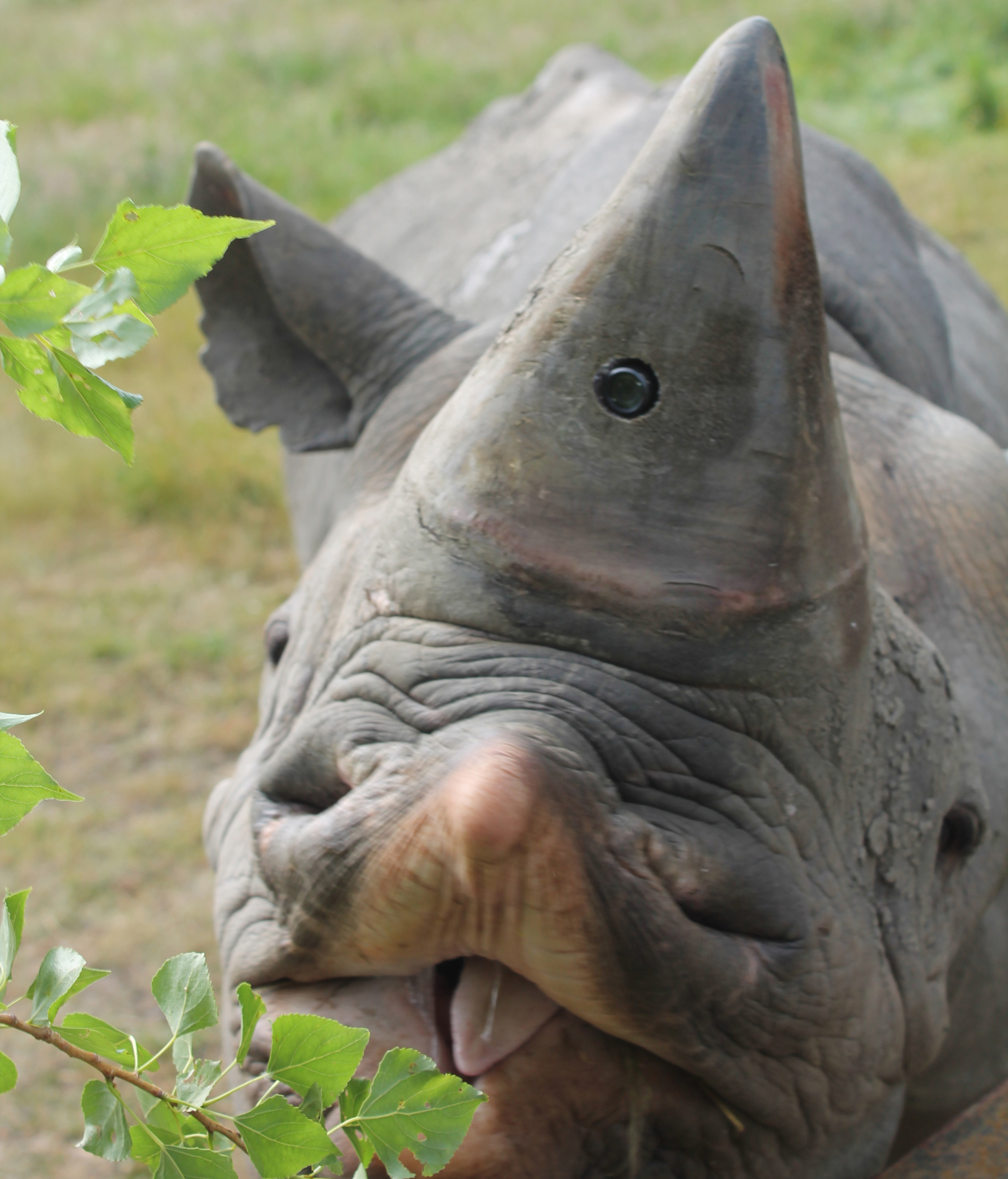 A black rhino with a tiny camera embedded in its horn leans in for a snack. PROTECT