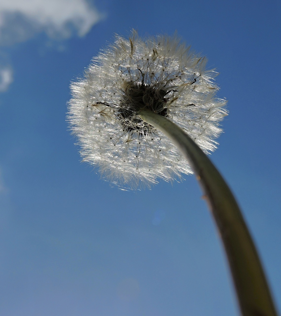 dandelion-1218421_1280.jpg