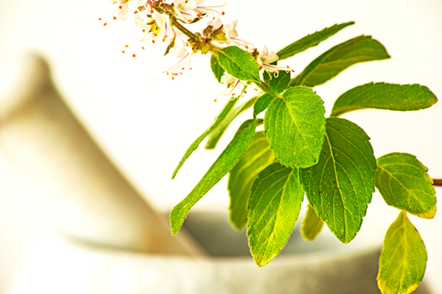 Holy basil leaves and flowers