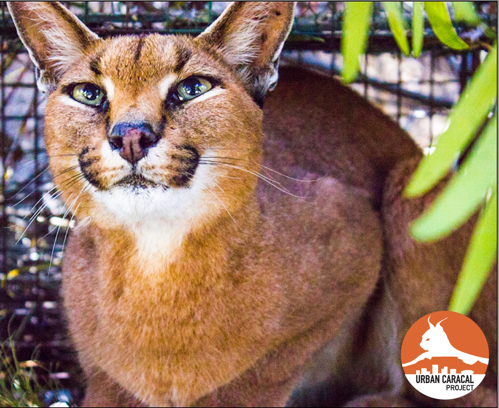 Meet the cats — Urban Caracal Project