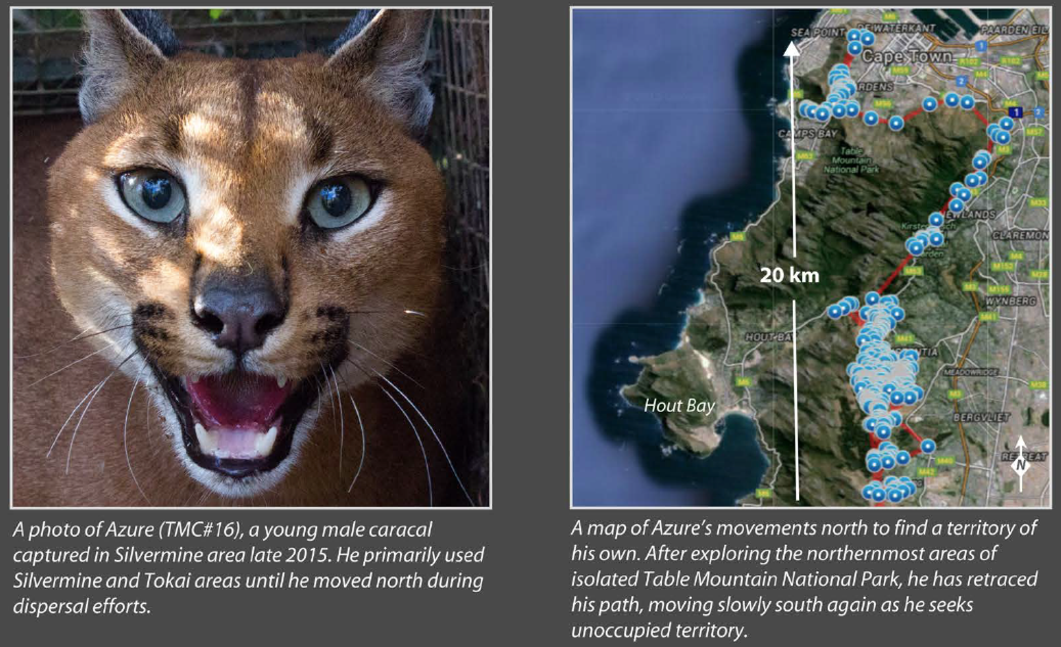 A portion of the infographic we recently published highlighting the dispersal behaviors of Tyger and Azure.