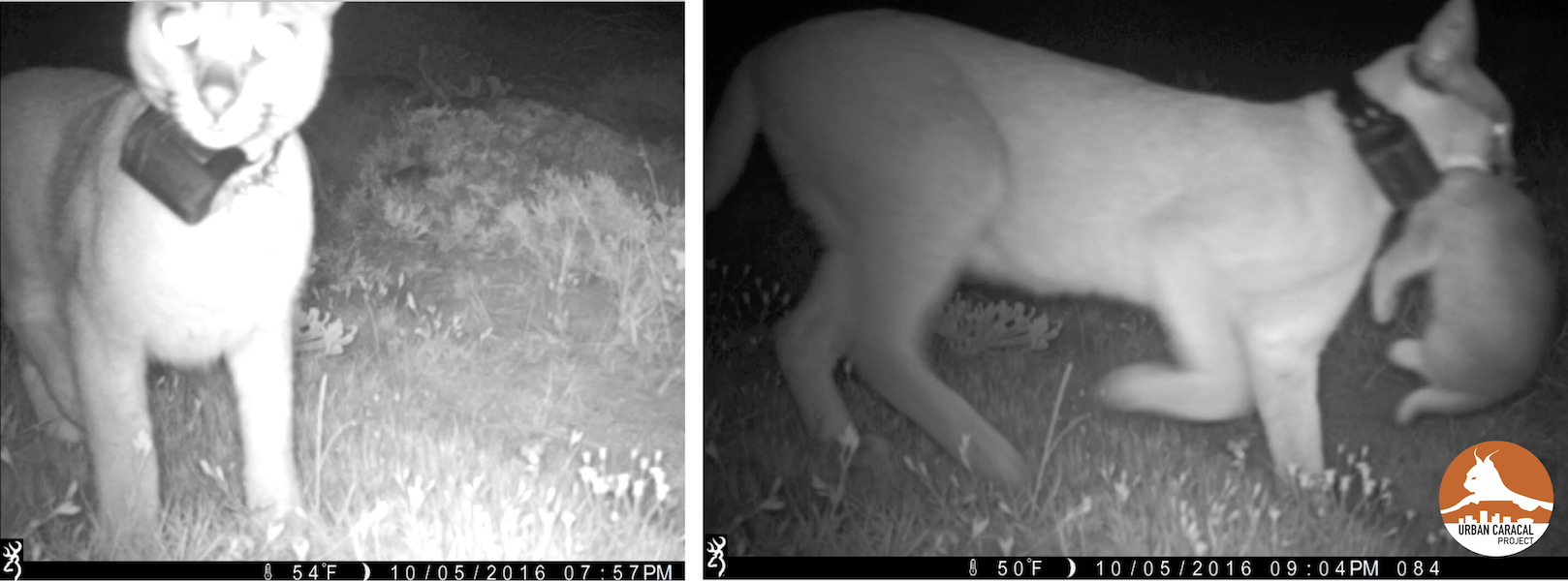 Luna, suspicious of our cameras, is seen here moving her kitten to a new den site. On the left she spends significant time sniffing the camera, and an hour later moves her (big) baby!