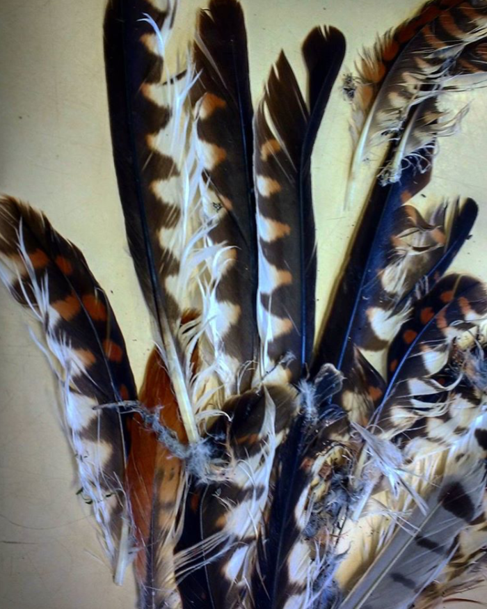 Feathers found and collected at kill site © Jessleena Suri