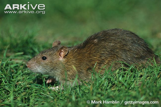 Rattus norvegicus. Photo by Mark Hamblin