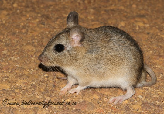 Gerbilliscus afra. Photo by Cliff & Suretha Dorse