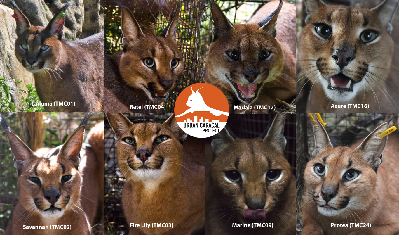 "Some of the ""faces"" of the Urban Caracal Project. Each of these caracals were radio-collared and tracked as part of the project."
