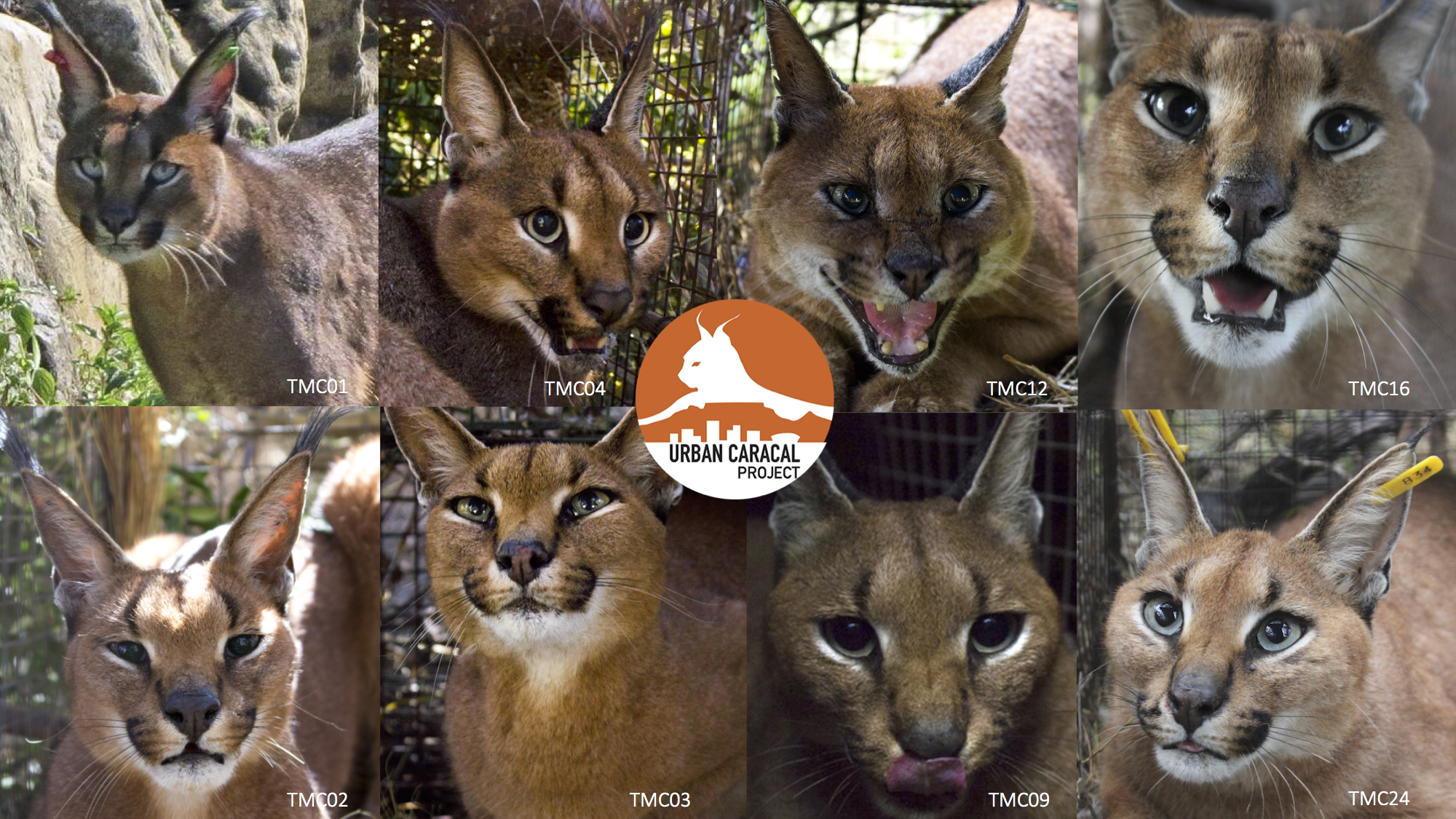 caracal_faces.png