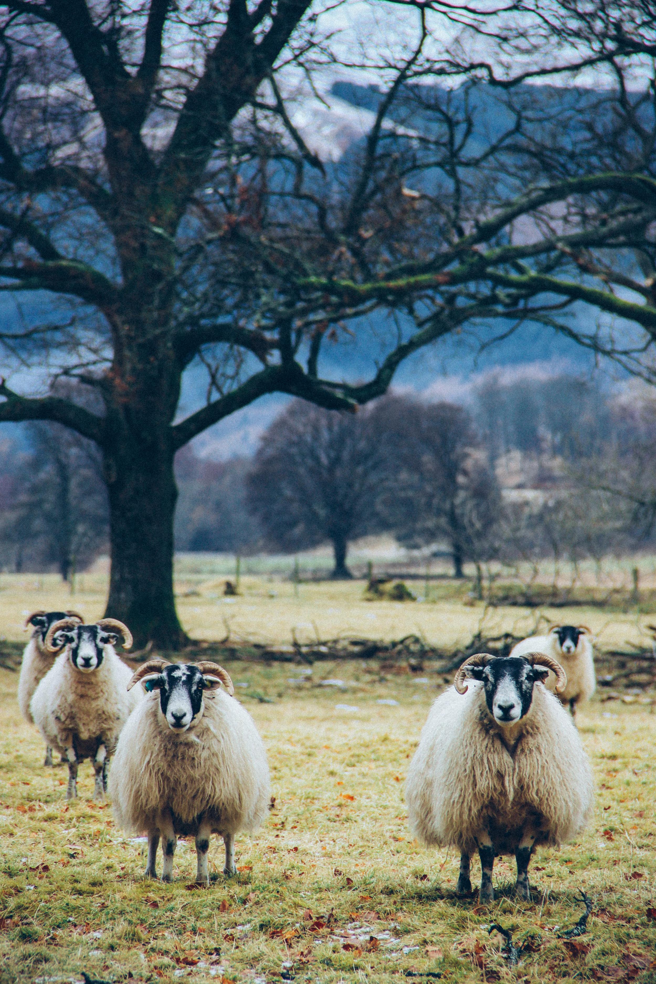 Sheep 1.jpg