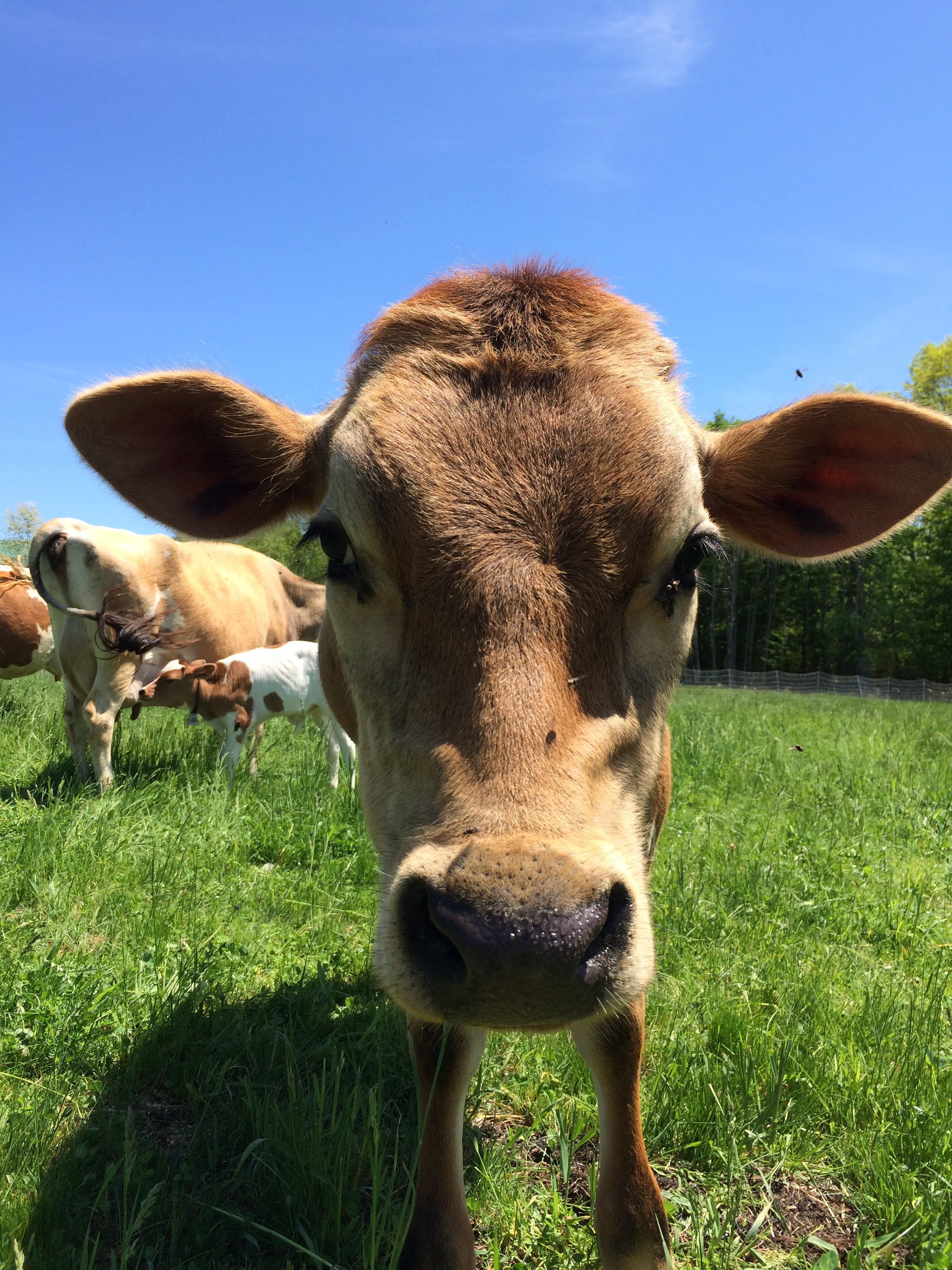 cow2 (1).jpg