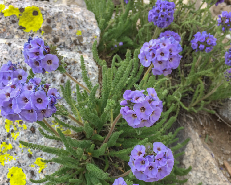 Sky pilot, a plant that grows at high elevations in the Sierras.