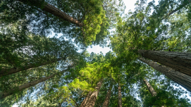 coast redwood canopy