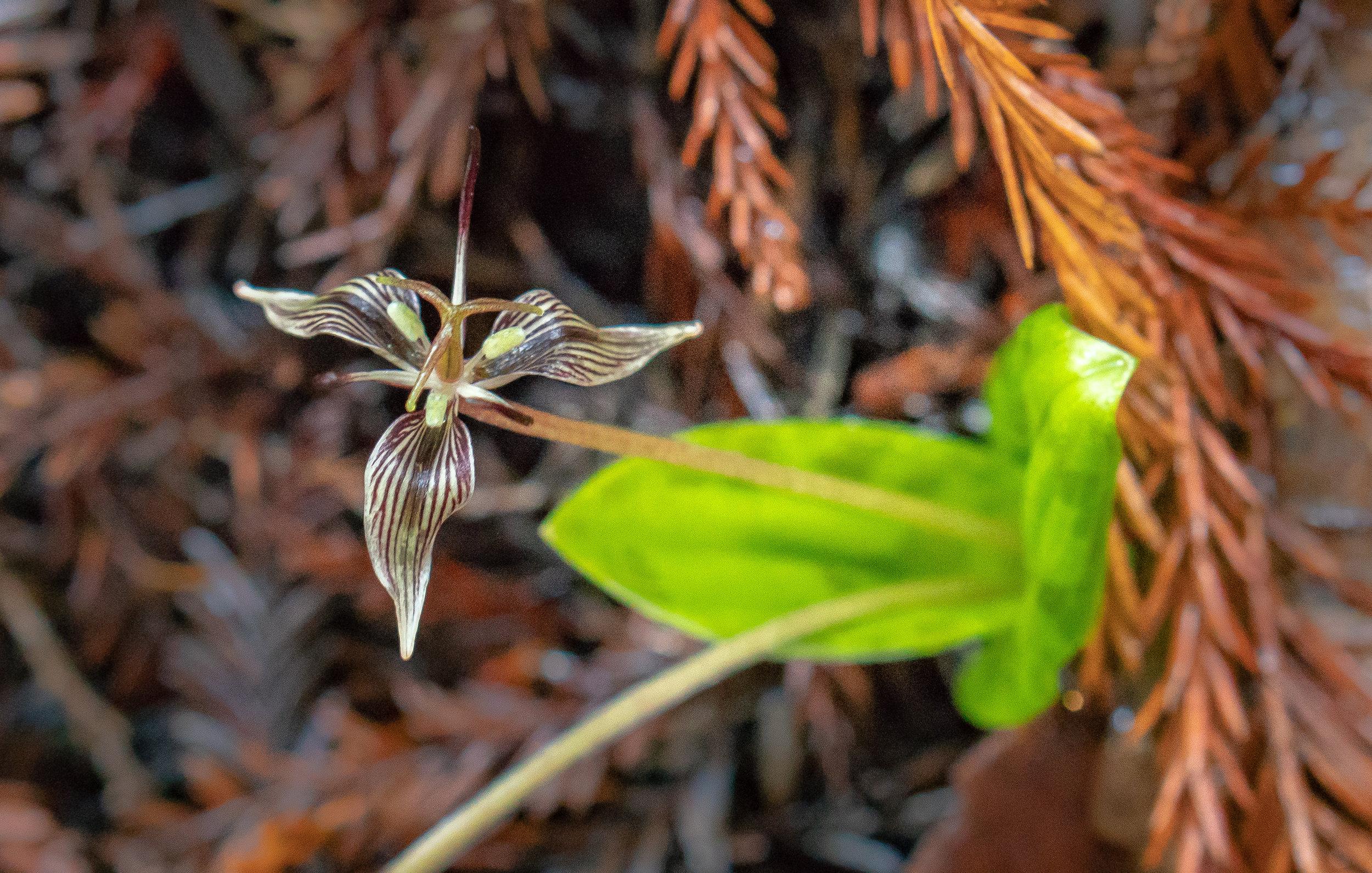 Fetid adder's tongue (Scoliopus bigelovii)