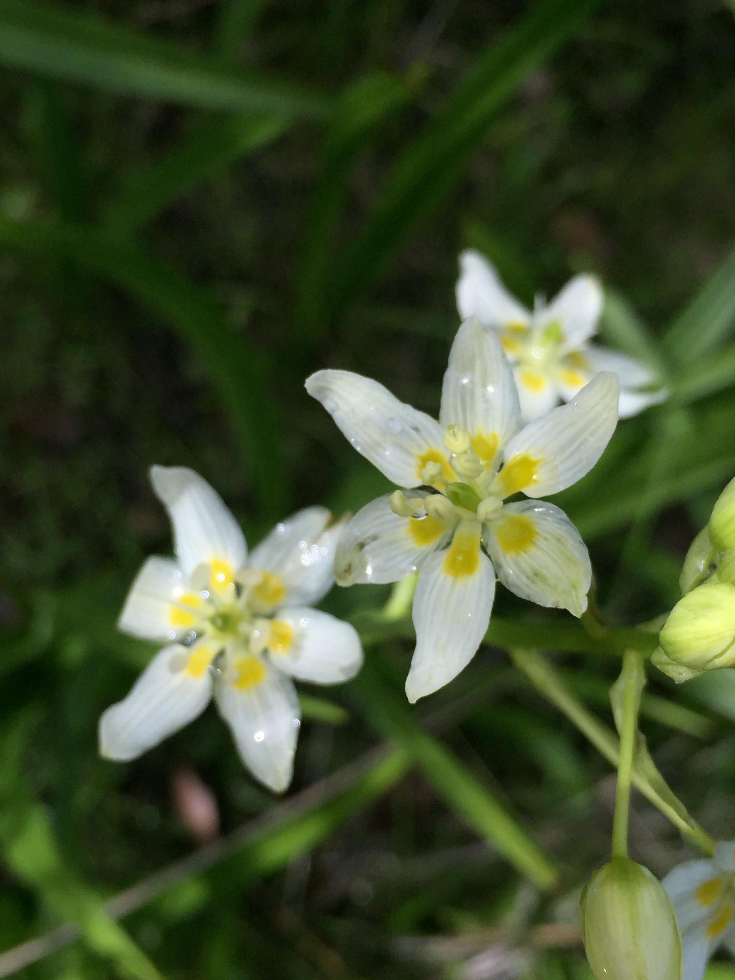 Fremont's star lily (Toxicoscordion fremontii)