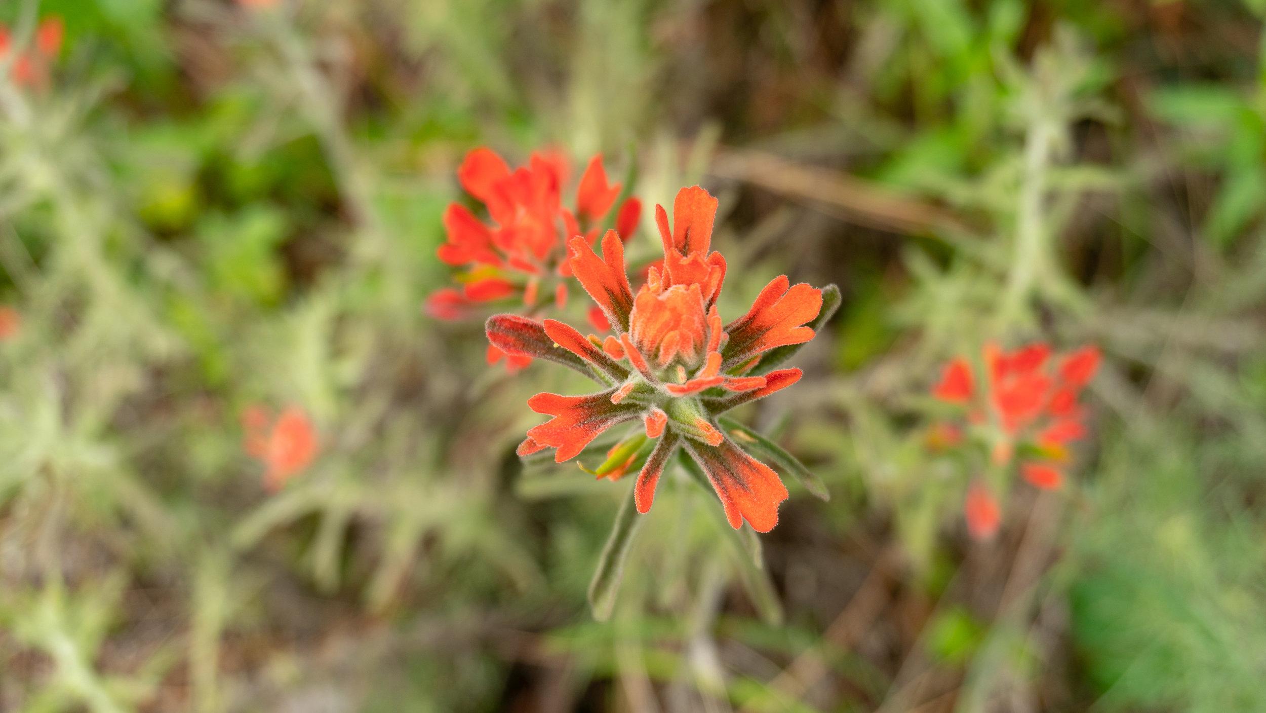 Paintbrush, Mount Diablo State Park